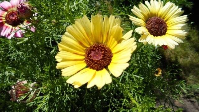 Выращивание хризантемы из семян: однолетней, килеватой, девичьей