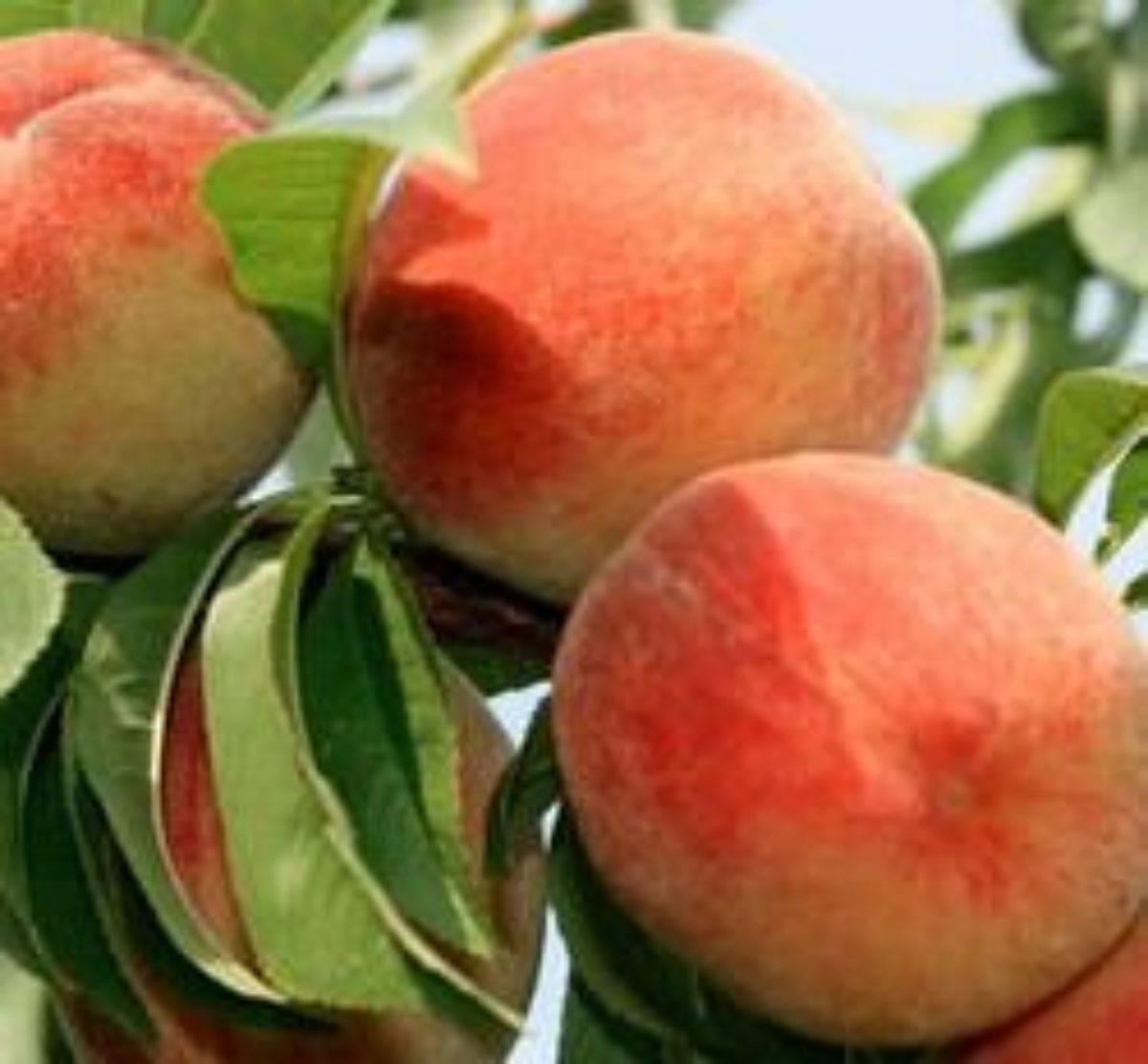 Всё о знаменитом американском гибридном персике редхейвен