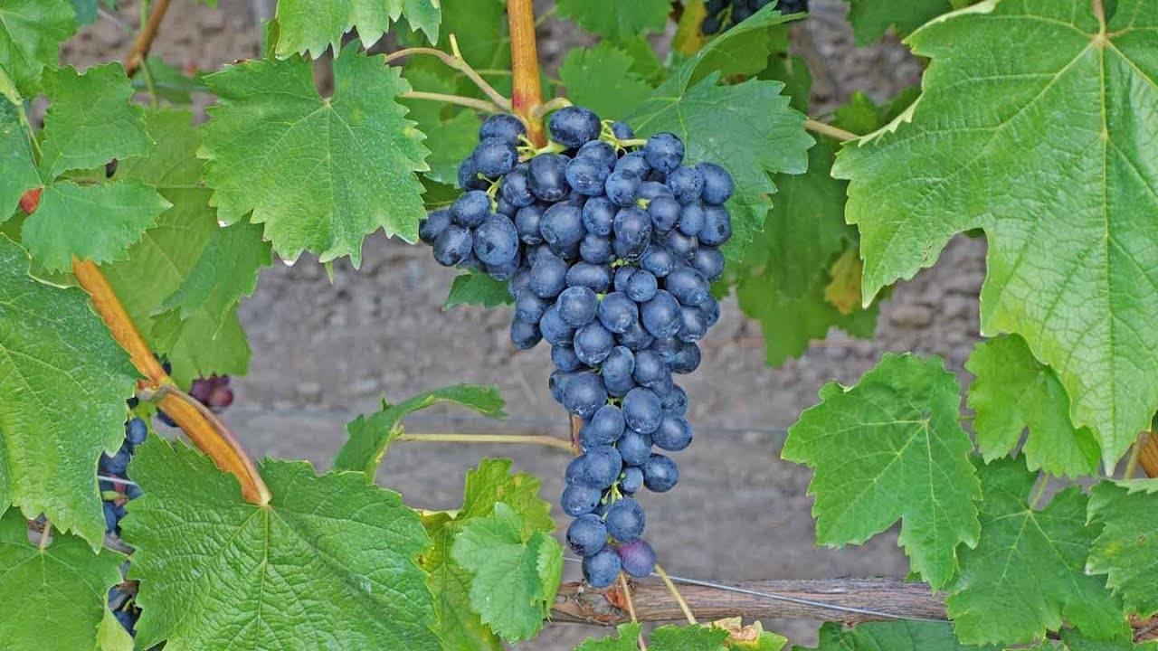 Виноград аттика: описание сорта, выращивание крупноплодной черной столовой ягоды