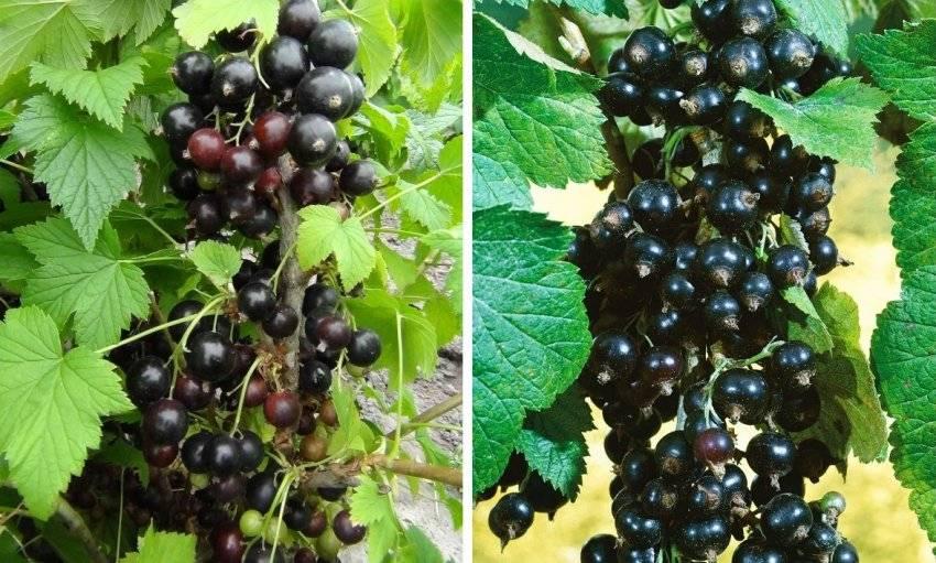 Черная смородина добрыня: описание сорта, фото урожая и отзывы садоводов, посадка и уход