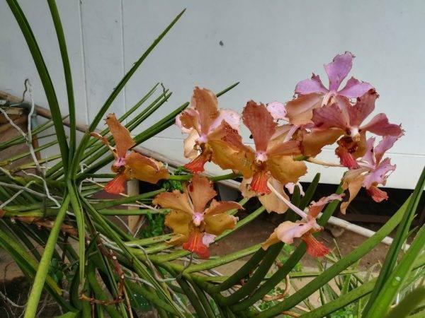 Почему орхидеи вянут листья и что с этим делать