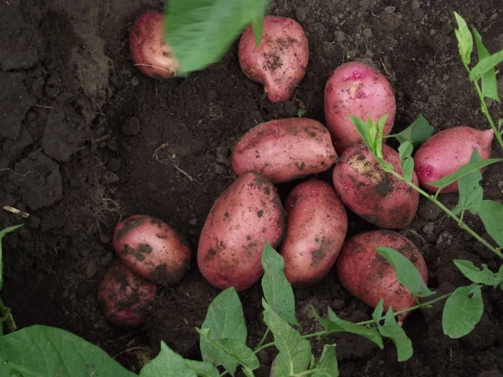 Картофель боровичок — характеристика и правила выращивания сорта