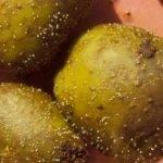 Нематода картофеля: как бороться, признаки, описание и лечение с фото