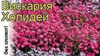Лихнис: посадка и уход в открытом грунте, выращивание из семян, фото