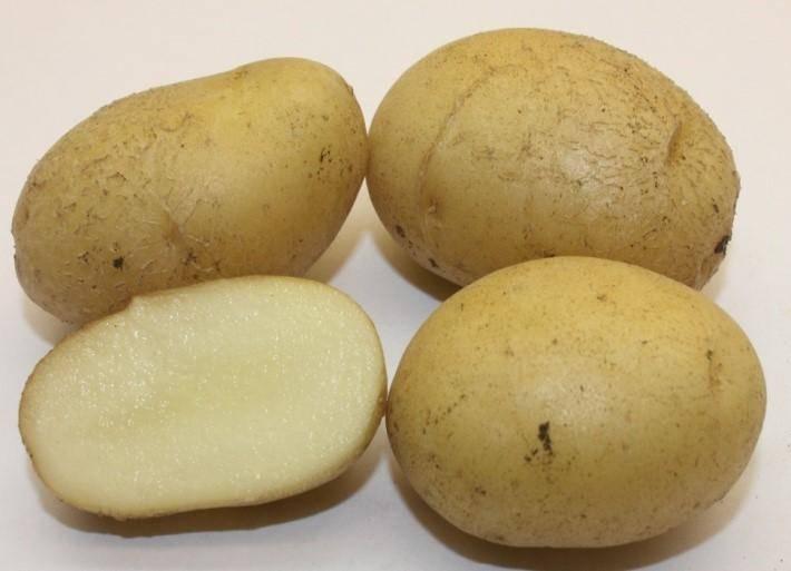 Картофель триумф: характеристика, правила выращивания и вкусовые качества