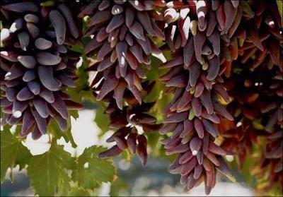 """Виноград блек фингер (""""чёрный палец""""): что нужно знать о нем, описание сорта, отзывы"""