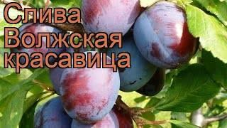 ✅ слива волжская красавица — описание сорта, фото, отзывы садоводов - cvetochki-penza.ru