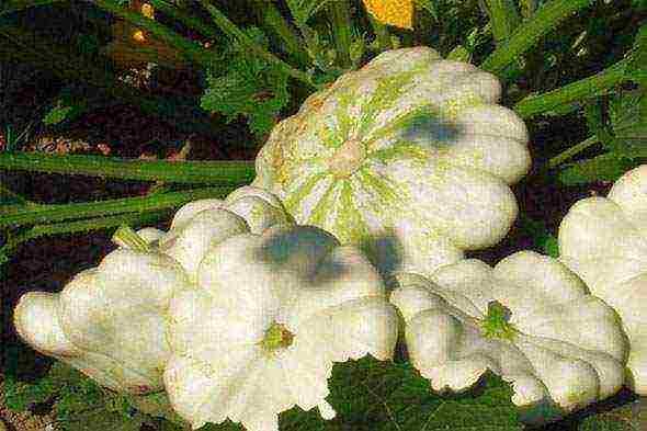 Выращивание патиссонов в открытом грунте. как получить два и более урожаев за сезон – дачные дела