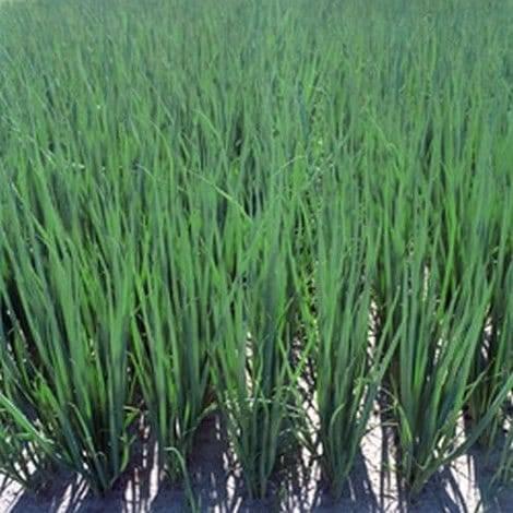 Лук шнитт: выращивание на подоконнике из семян и делением