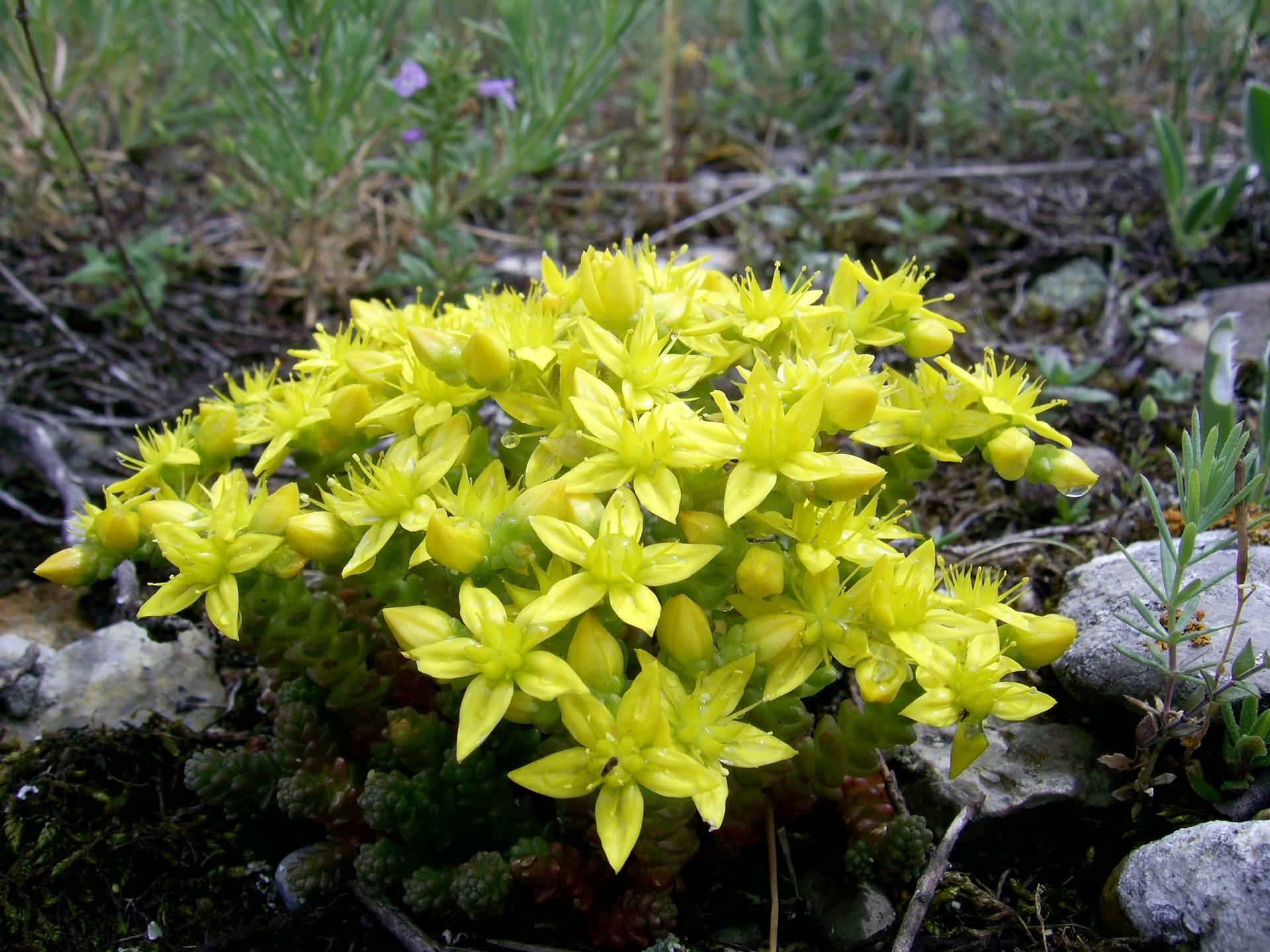 Неприхотливые растения в цветочном ковре: очитки почвопокровные