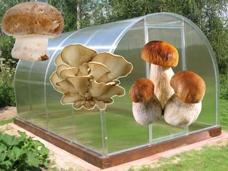 Выращивание грибов в теплице круглый год: как вырастить шампиньоны и вешенки? русский фермер