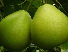 Выращивание груши сорта фаворитка