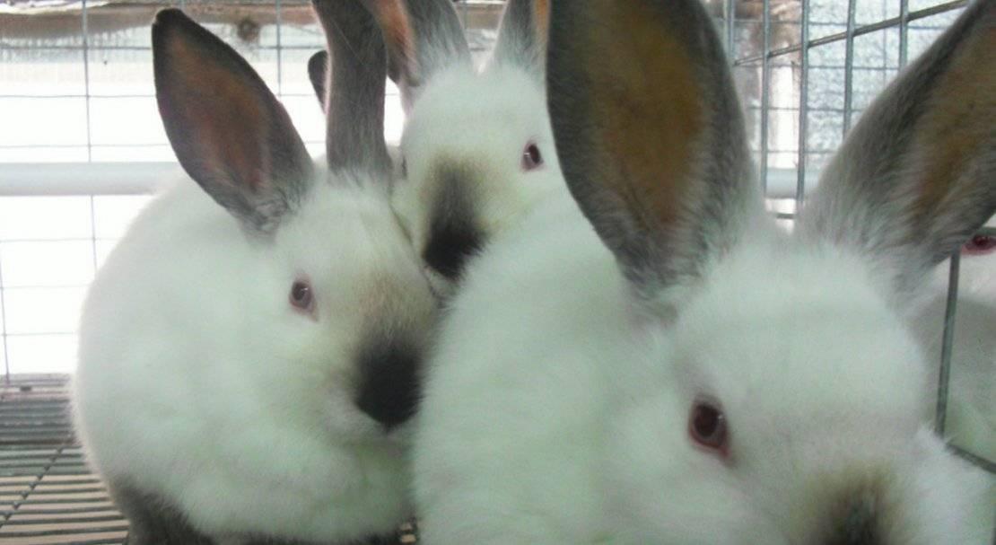 Калифорнийские кролики: все о породе и правилах содержания