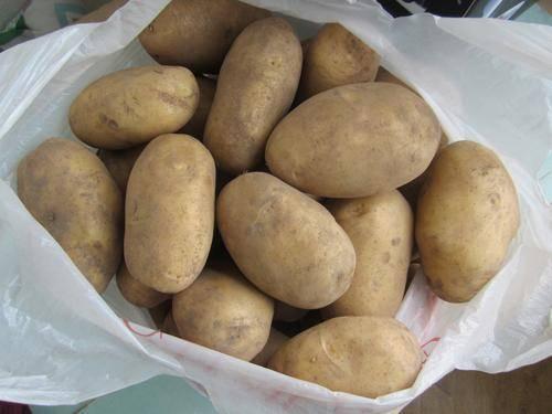 Как выращивать и хранить картофель сорта колобок