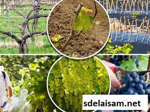 Как правильно опрыскивать виноград железным купоросом