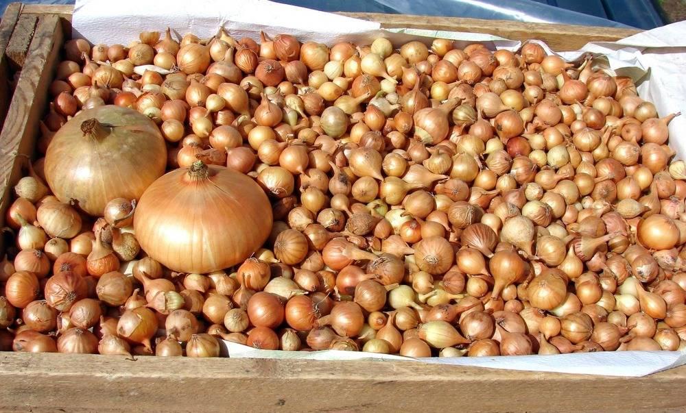 Сорта лука-севка для хранения на зиму