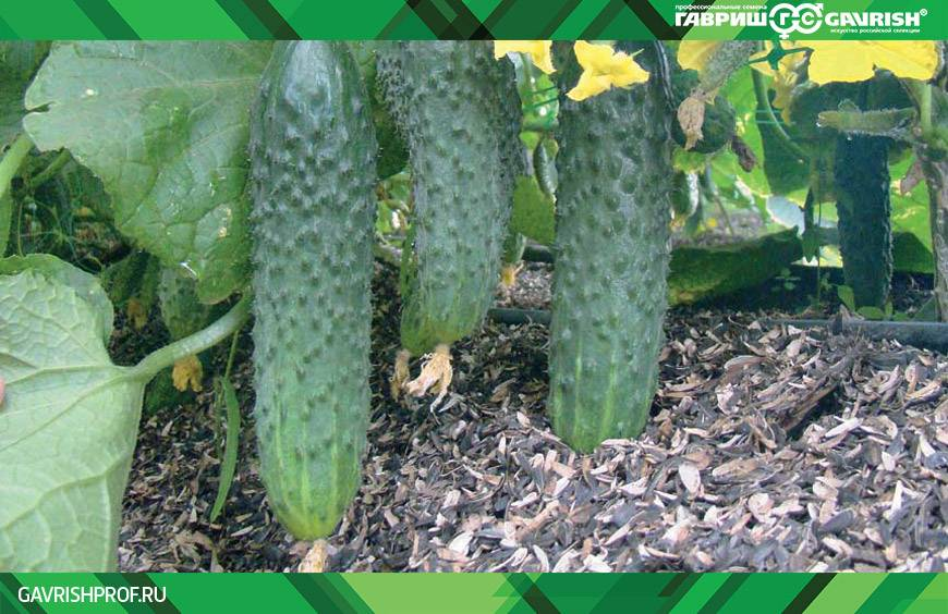 Огурец мамлюк: описание, выращивание, уход, фото