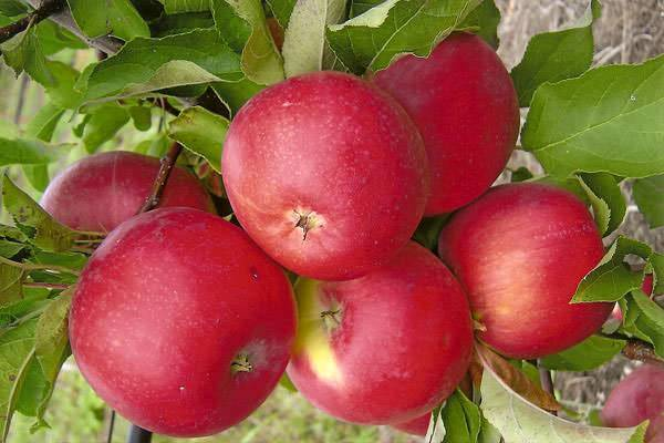 Яблоня уэлси: посадка, фото и описание сорта, отзывы