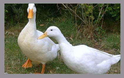 Благоварская утка: описание породы