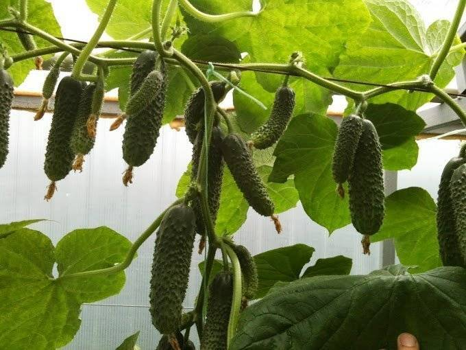 Описание сорта огурца амур, его выращивание и уход. огурец «амур f1»: описание гибридного сорта, фото и отзывы