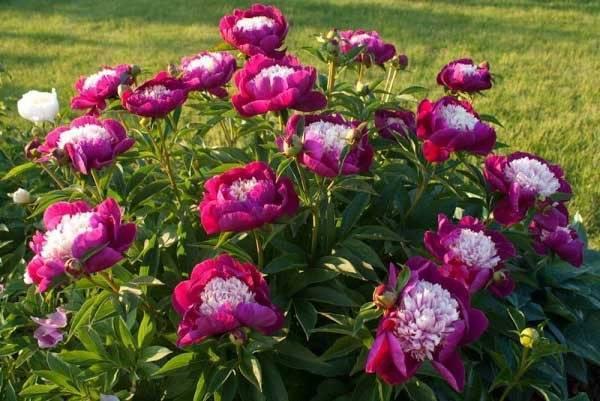 Пионы: высадка в весеннее время года | cельхозпортал