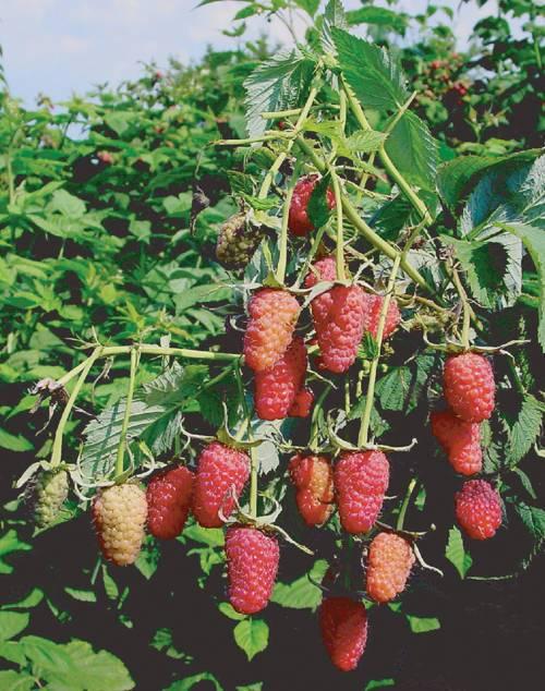 Сорт малины «московский гигант» — особенности выращивания