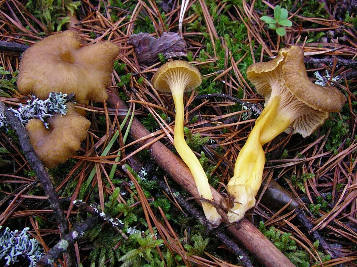 Лисичка трубчатая (cantharellus tubaeformis) или лисичка ворончатая: фото, описание и как готовить этот гриб