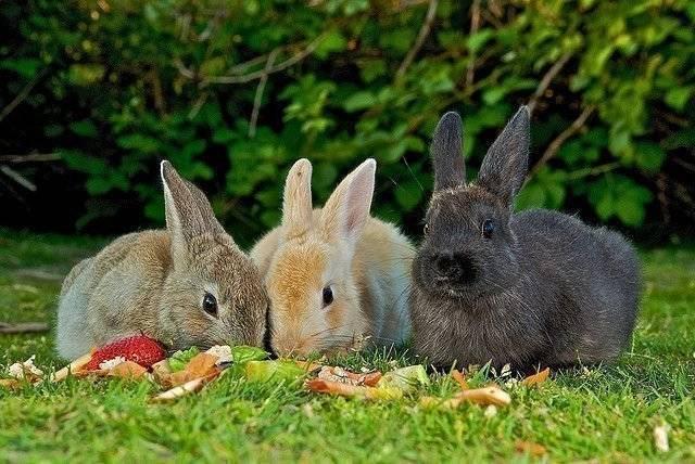 Сколько раз в день кормить кроликов: обычного, декоративного