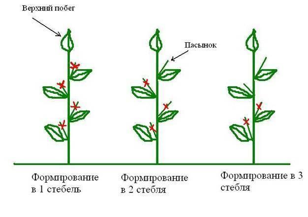Формирование томатов в 2 стебля в теплице: схема (видео + фото)