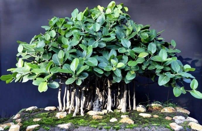 Фикус бенгальский: уход в домашних условиях и выращивание