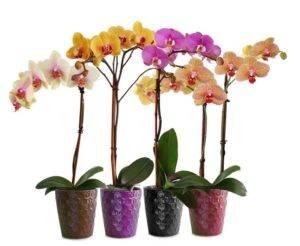 Уход за орхидеей фаленопсис в домашних условиях: где лучше ставить растение в горшке, что делать с больными и крашенными цветами - фото и видео процесса