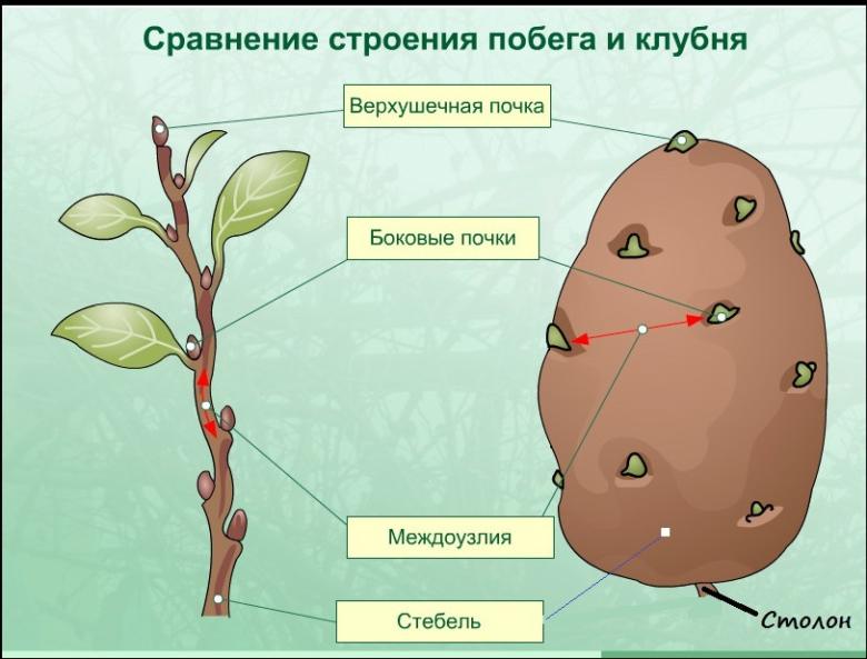 Строение плода картофеля