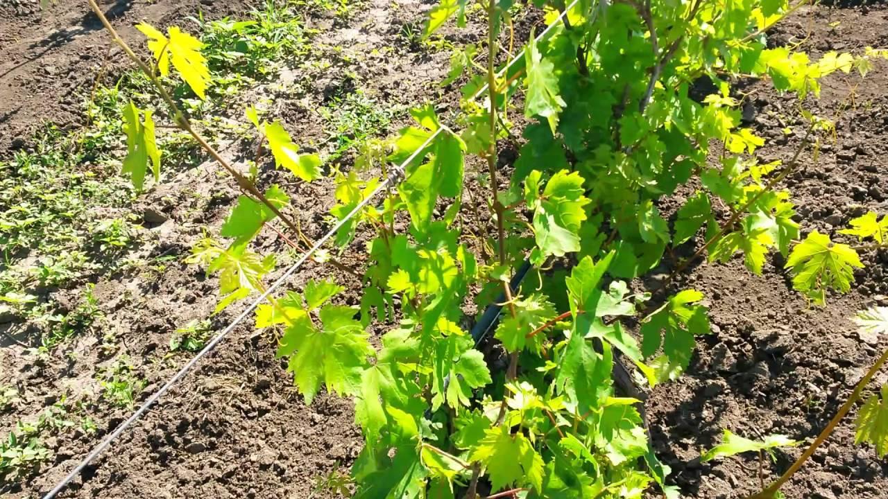 Виноград рута сорта