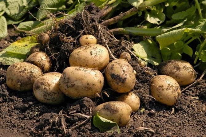 Что понимают под технологией возделывания картофеля