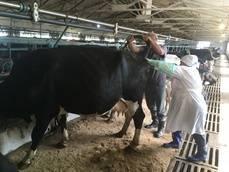 Осеменение коров: виды, рекомендации, описание технологии и пошаговая инструкция искусственного осеменения в домашних условиях (130 фото)