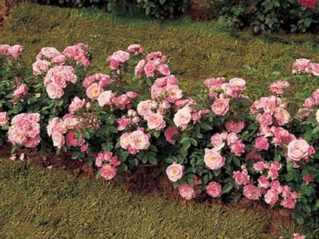 Что такое полиантовая роза, сорта, посадка и уход