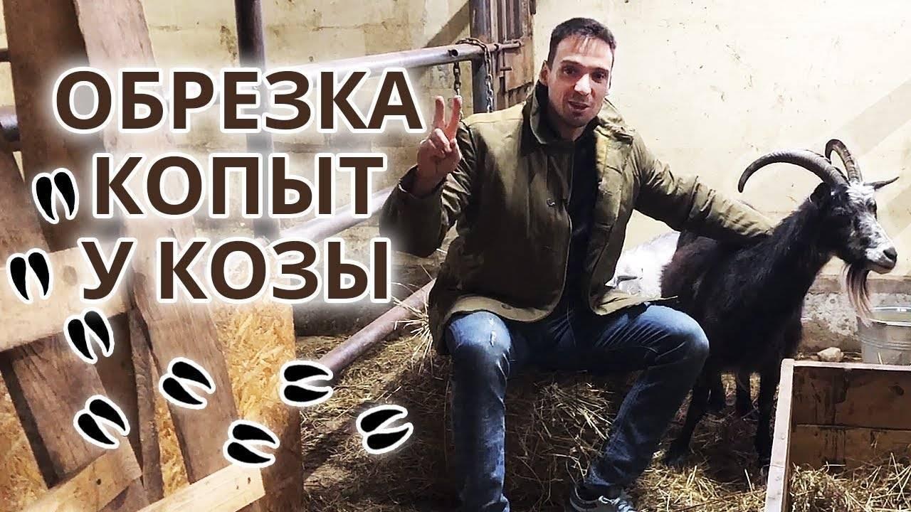 Копытная гниль у коров, овец, коз