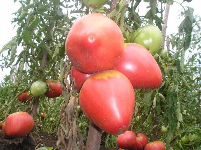 Томат розовый гигант: описание крупноплодного сорта, достоинства и недостатки, отзывы и фото