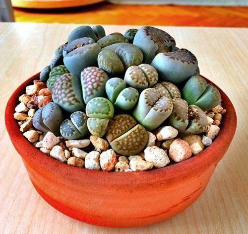 Литопсы из семян в домашних условиях: как и когда происходит размножение таким способом, подготовка перед посадкой, посев и выращивание «живых камней», фото растениядача эксперт
