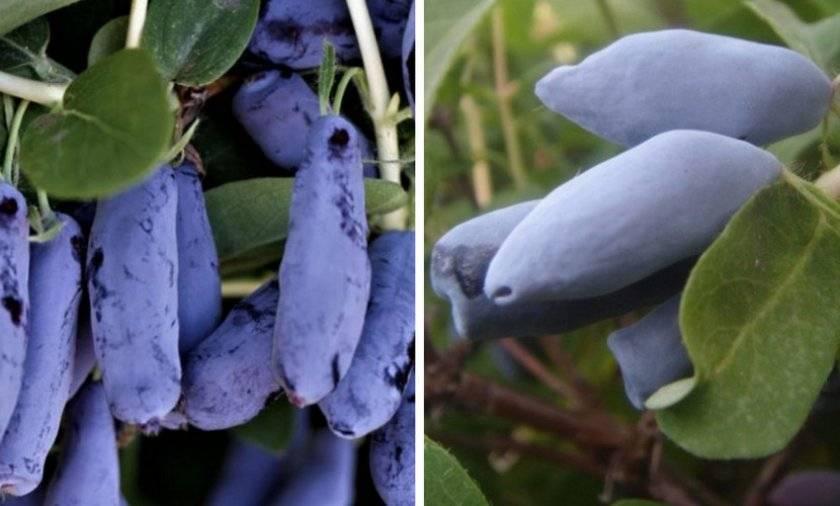 Выращивание жимолости на урале - новые сорта и уход | сайт о саде, даче и комнатных растениях.