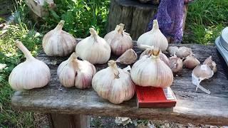 Описание сорта чеснока любаша, рекомендации по выращиванию - всё про сады