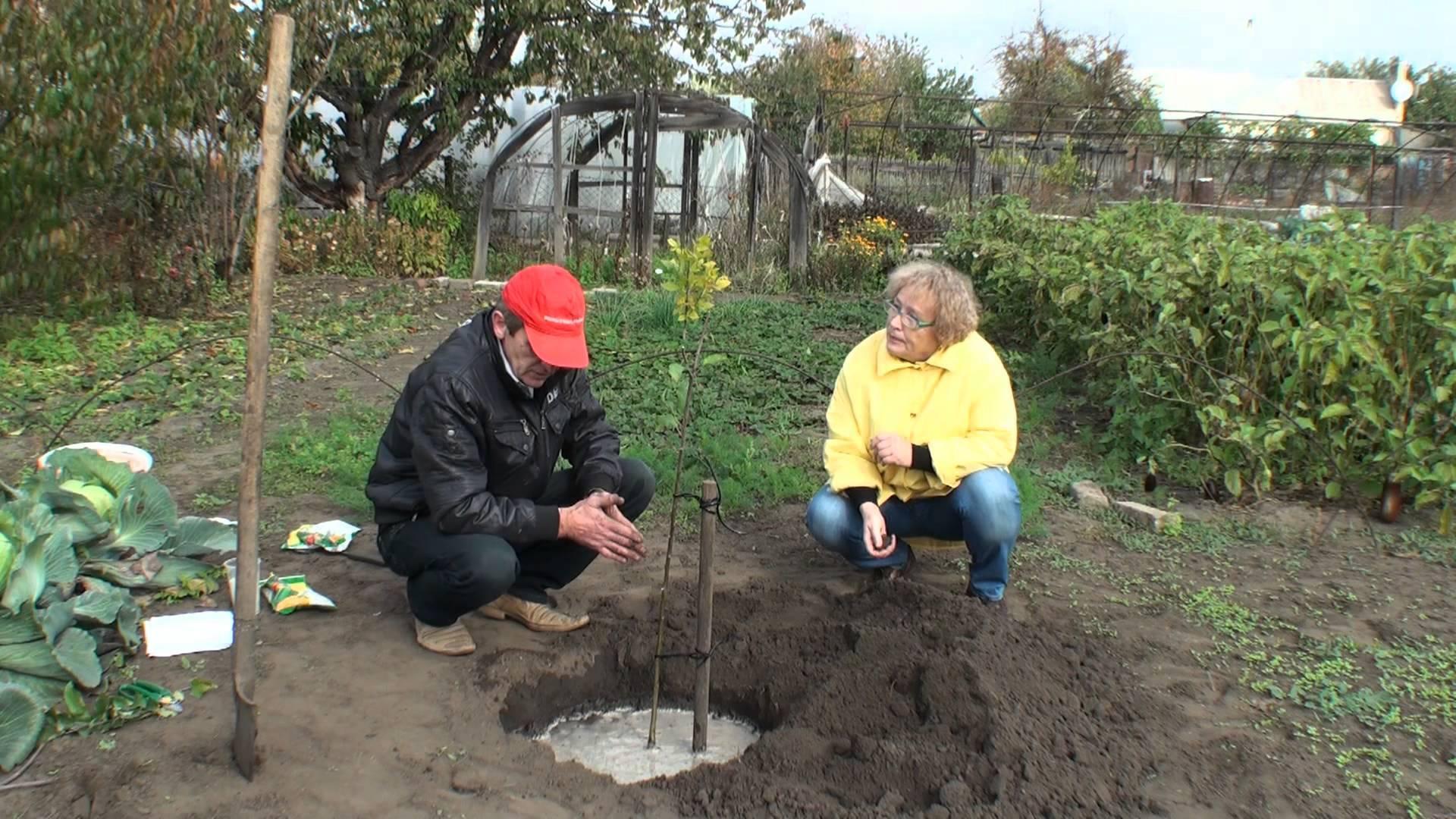 Как посадить яблоню правильно: советы садоводу