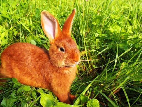 Описание и фото пород кроликов рыжего цвета
