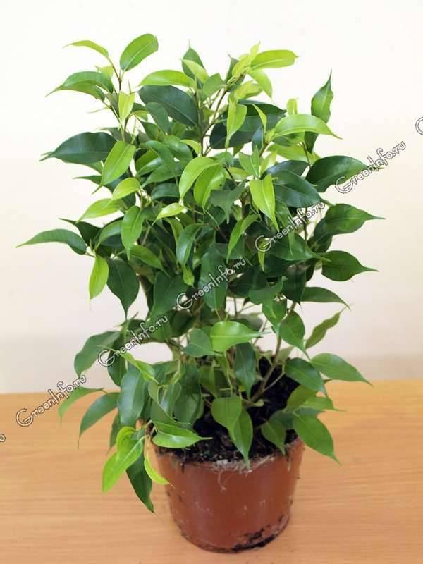 Выращивание фикуса даниэль: как посадить, ухаживать, удобрять, размножать
