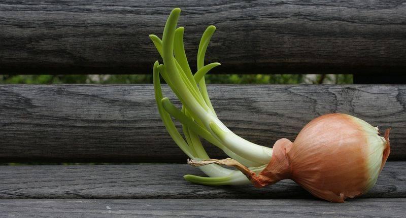 Лук эксибишен: посадка и уход, как вырастить через рассаду и семена