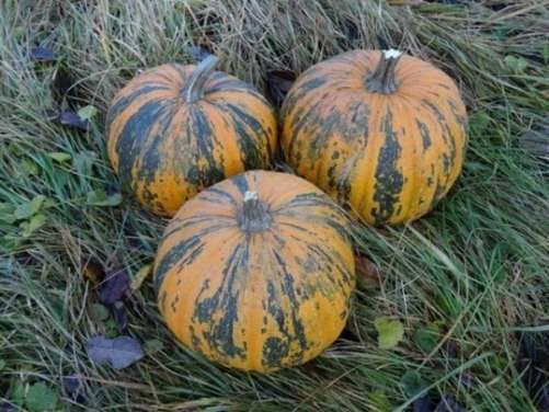 Сорта тыквы для семечек с большим количеством семян: обзор лучших, помощь в выборе, особенности выращивания