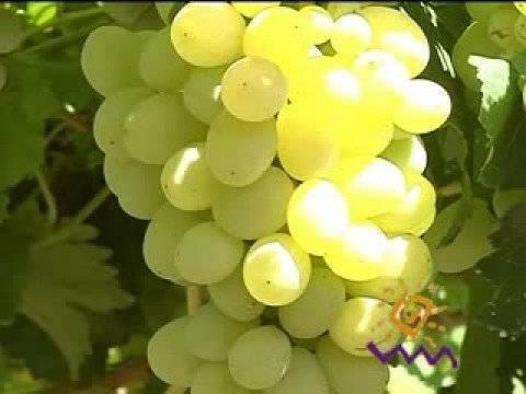 Виноград восторг белый: описание сорта, фото, отзывы,