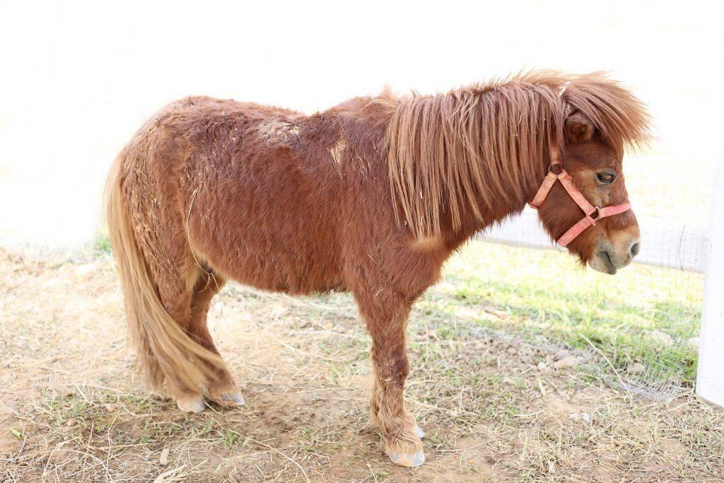 Описание мини-лошадей
