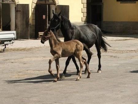 Кладрубская лошадь: история, описание породы, характеристика и фото
