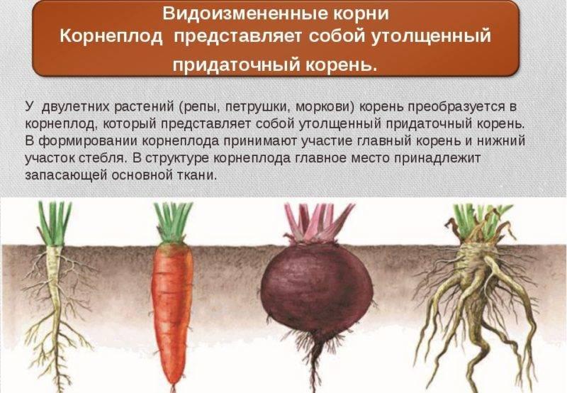 Морковь: что это такое, овощ или фрукт, корнеплод или нет, как выглядит на фото, где растет в открытом грунте на грядке и характеристика, история, род, описание русский фермер